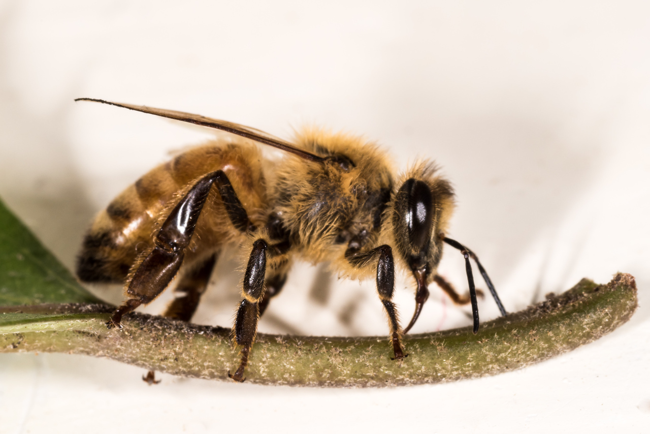 Honey bee (Apis mellifera). Opoho, Dunedin.