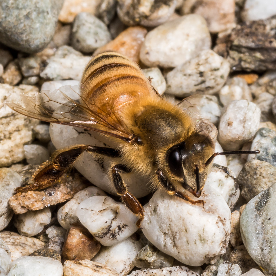 Honey bee (Apis mellifera). Earnscleugh Tailings, Alexandra, Central Otago.