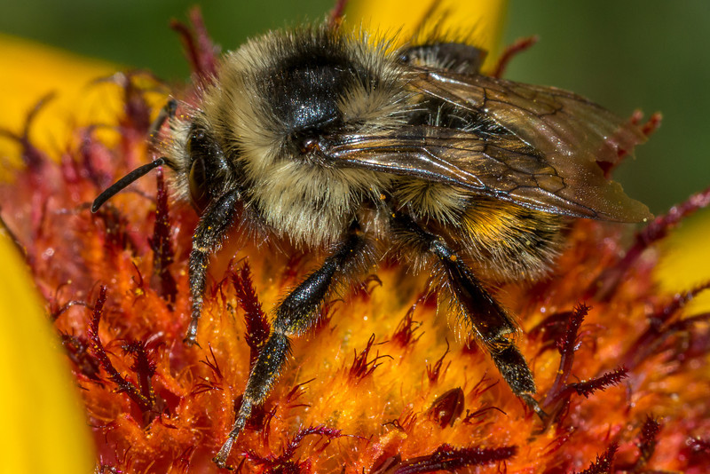 Black-notched bumble bee (Bombus bifarius), also known as two-form bumble bee, on common blanketflower (Gaillardia aristata). Lily Lake, Rocky Mountain National Park, CO.