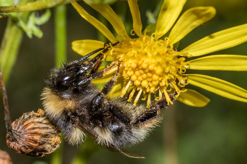 Large garden bumblebee (Bombus ruderatus) on ragwort (Jacobaea vulgaris). Raspberry Flat, Matukituki River West Branch.