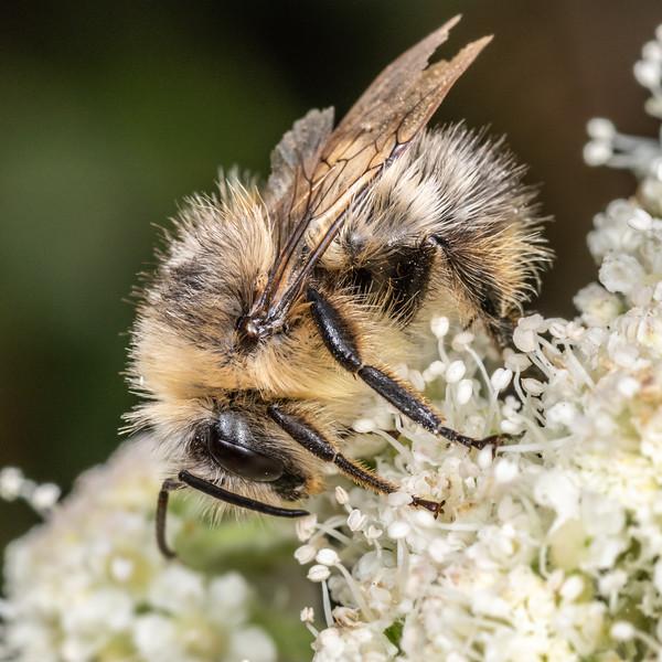 Sitka bumble bee (Bombus sitkensis). Palmer's Beach, Patricks Point State Park, CA, USA.