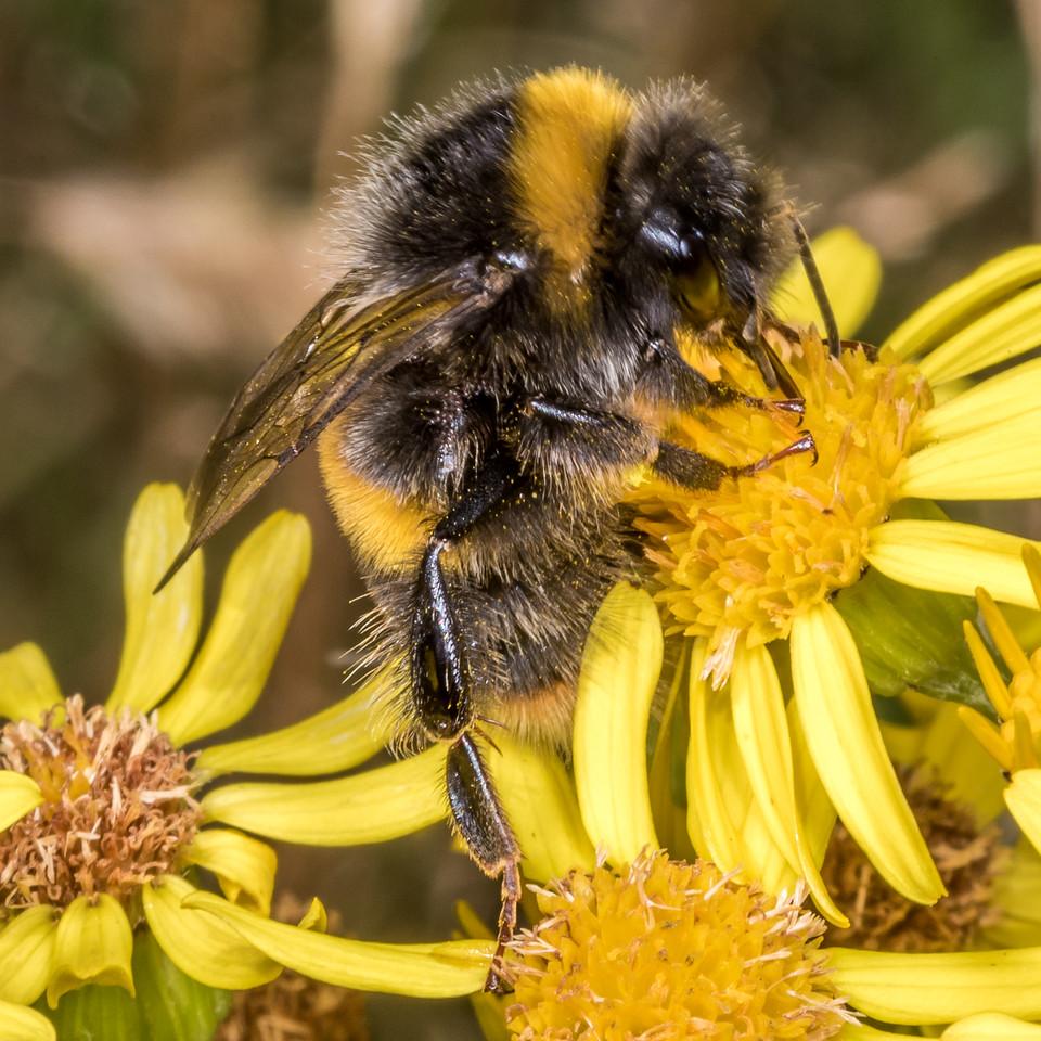 Buff-tailed bumblebee (Bombus terrestris) on ragwort (Jacobaea vulgaris). Junction Fkat, Matukituki River East Branch, Mount Aspiring National Park.