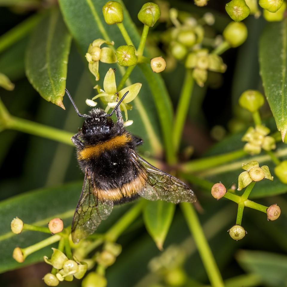 Buff-tailed bumblebee (Bombus terrestris) on Pseudopanax linearis. Perry Saddle, Heaphy Track, Kahurangi National Park.