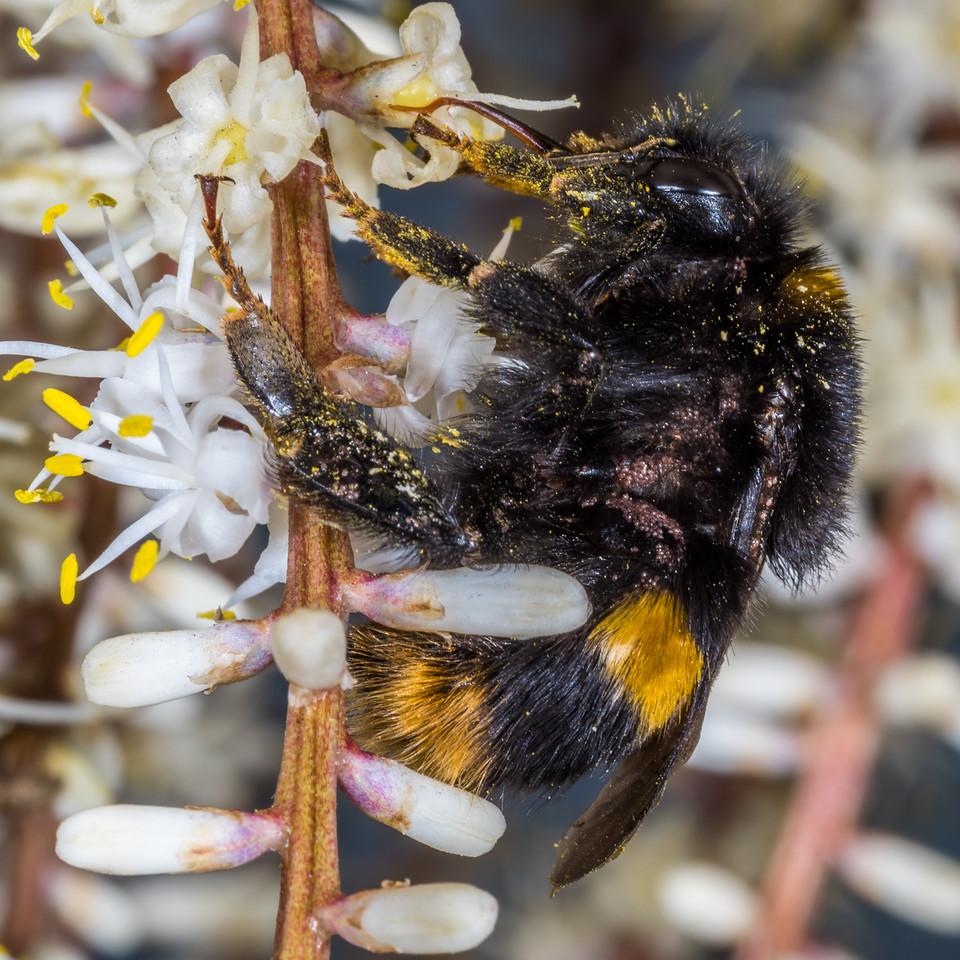 Buff-tailed bumblebee (Bombus terrestris) queen on cabbage tree / tī kōuka (Cordyline australis). Dunedin.