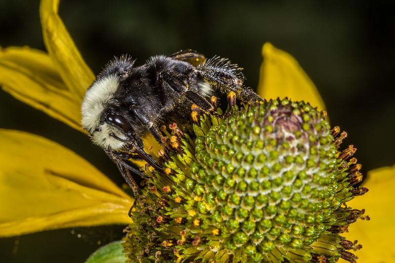 Yellow-faced bumblebee (Bombus vosnesenskii) on California coneflower (Rudbeckia californica). Tuolumne Grove, Yosemite National Park, CA.