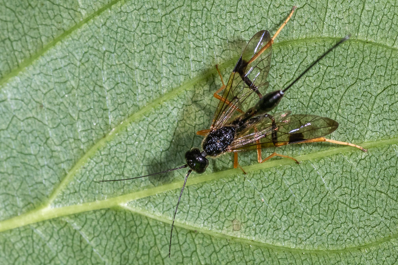 Aulacid wasp (Family Aulacidae). Wild River State Park, MN, USA.