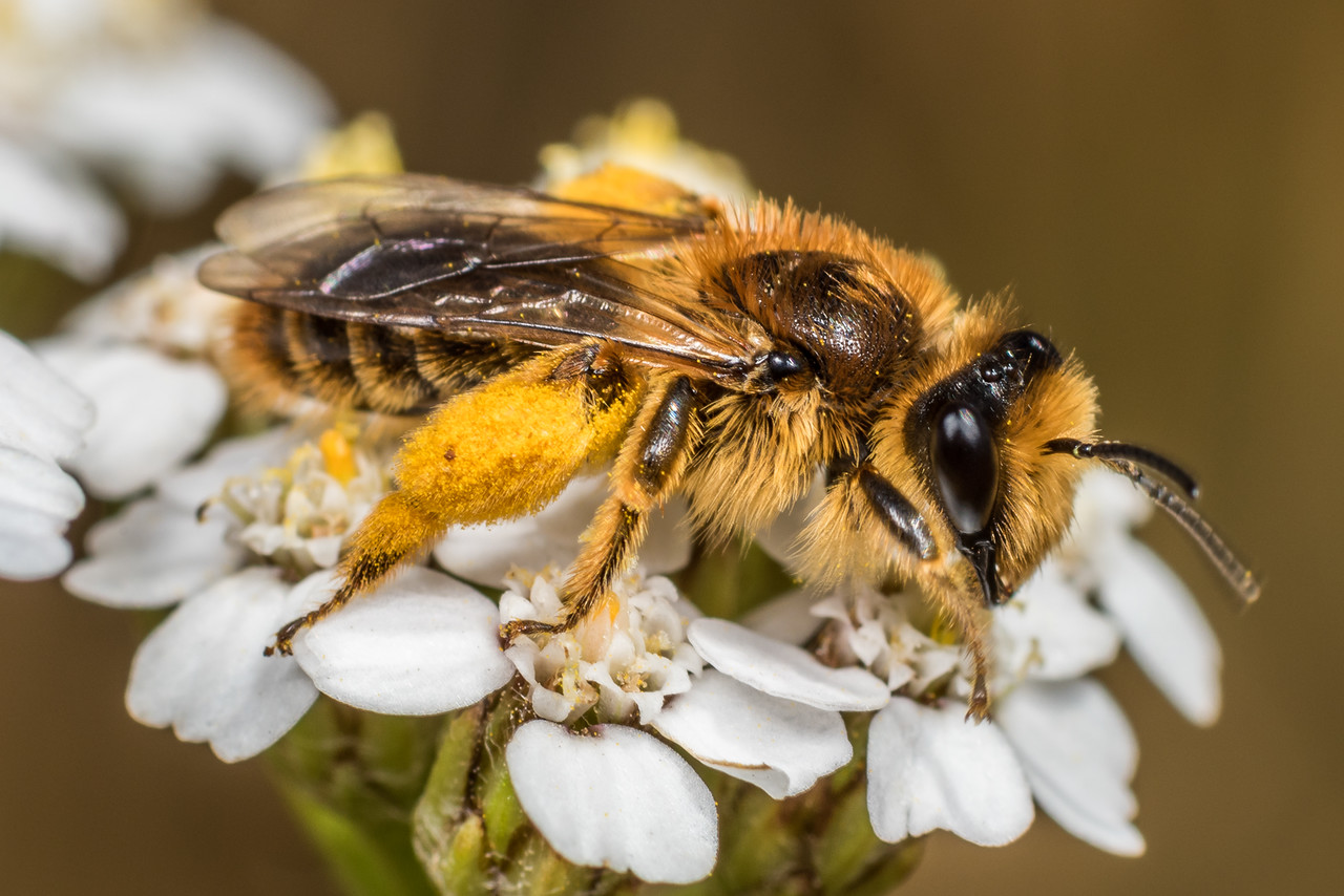 Leioproctus (Nesocolletes) fulvescens, a native bee, on yarrow (Achillea millefolium). Deep Stream, Otago.