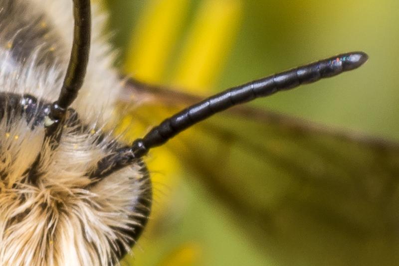 Leioproctus (Nesocolletes) maritimus. Junction Flat, Matukituki River East Branch, Mount Aspiring National Park.