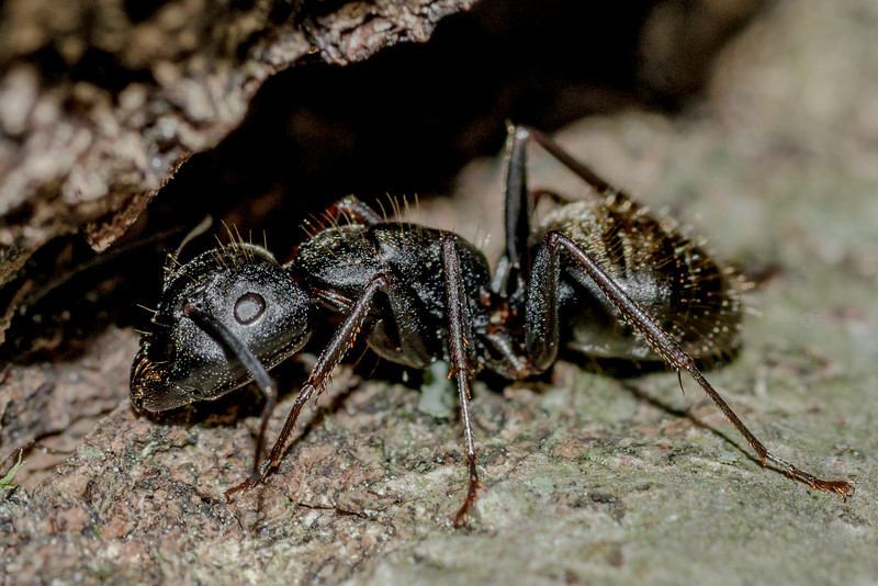 Eastern black carpenter ant (Camponotus pennsylvanicus). St Croix Falls, WI, USA.