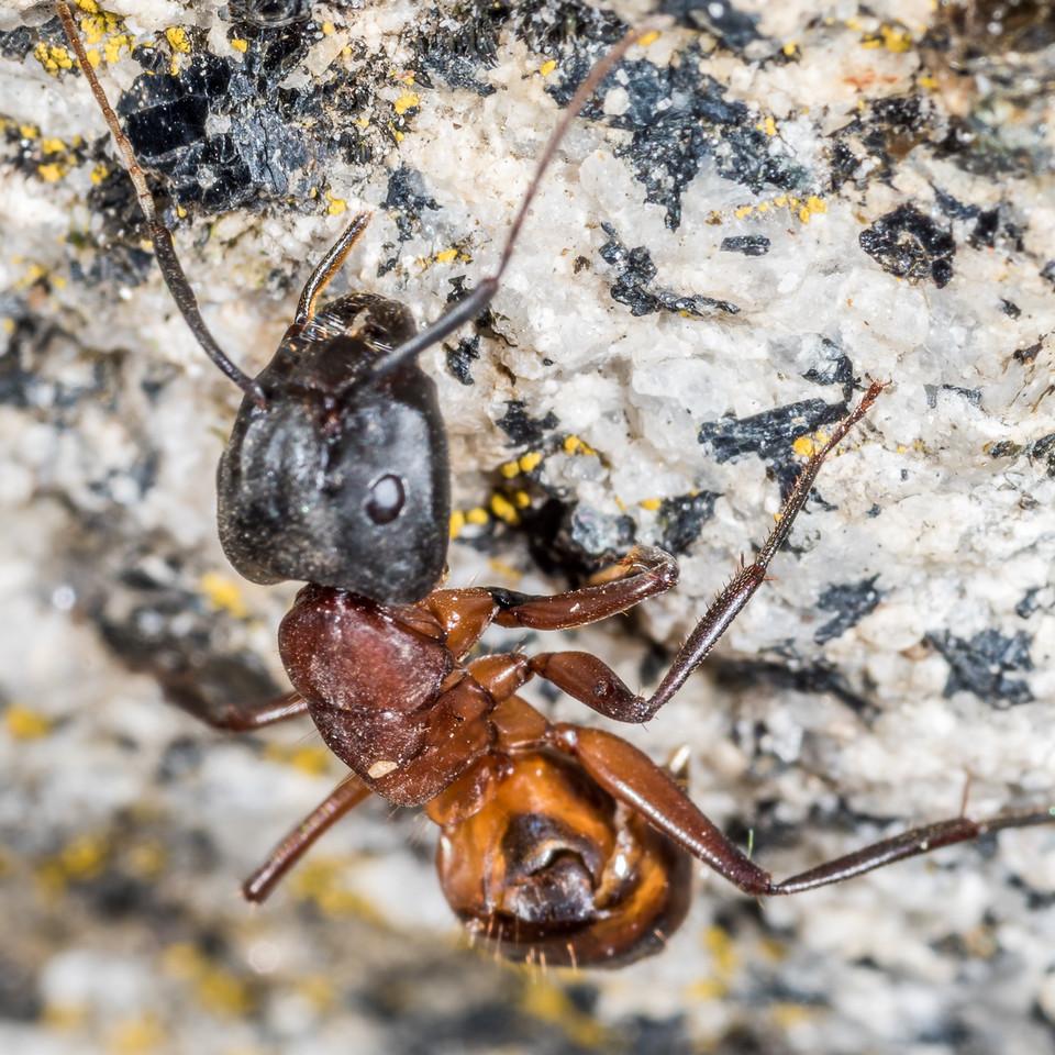 Carpenter ant (Camponotus vicinus?) worker. Glacier Point, Yosemite National Park, CA.