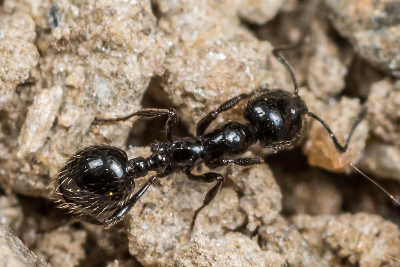 Southern ant (Chelaner antarcticum). Deep Stream, Otago.
