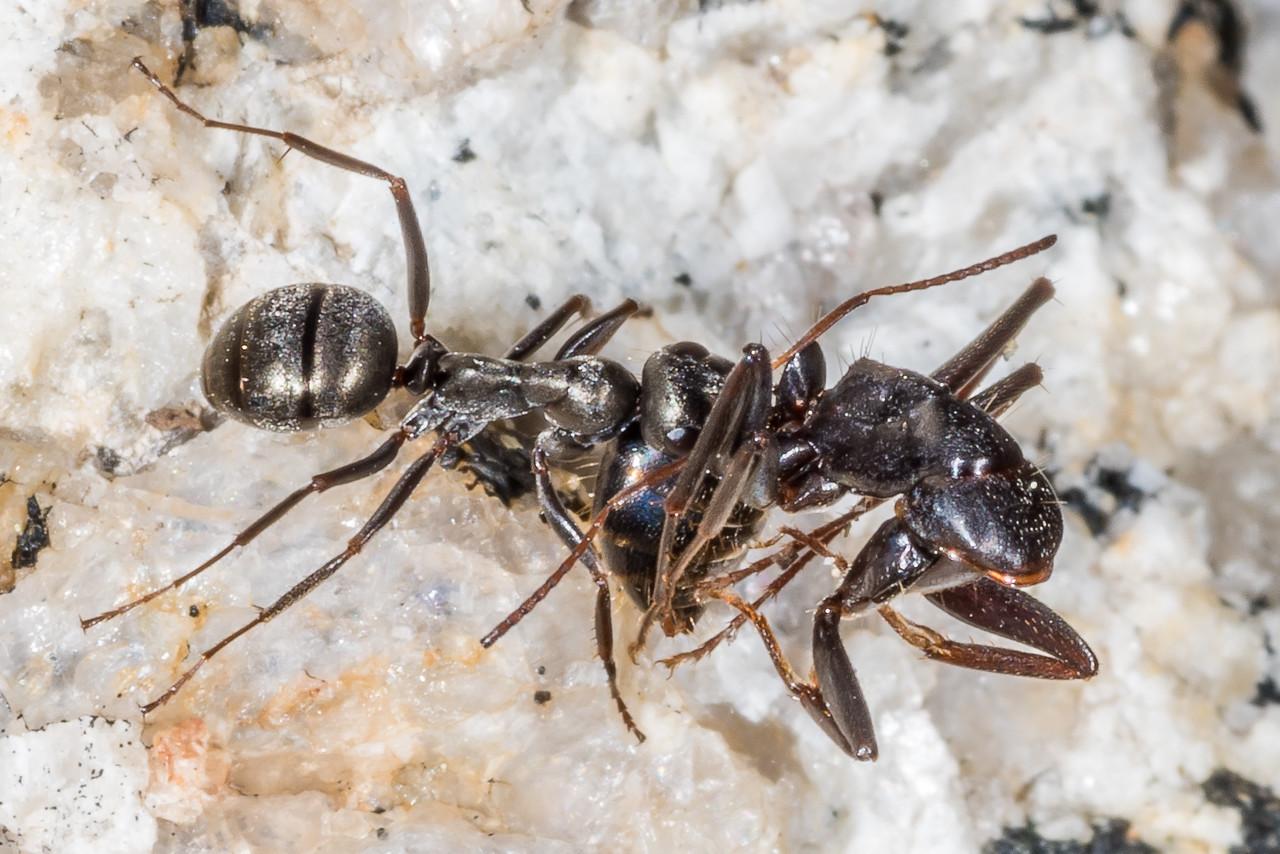 Ant (Formica microphthalma or F. accreta). Sentinel Dome, Yosemite National Park, CA.