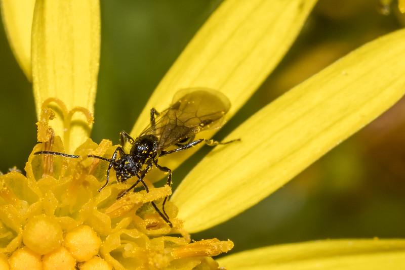 Male ant (Huberia brounii) on ragwort (Jacobaea vulgaris). Raspberry Flat, Matukituki River West Branch.