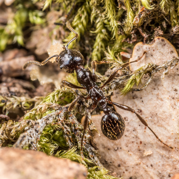 Striated ant (Huberia striata). Junction Fkat, Matukituki River East Branch, Mount Aspiring National Park.