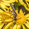 Carrot wasp (Pseudofoenus crassipes). Junction Flat, Matukituki River East Branch, Mount Aspiring National Park.