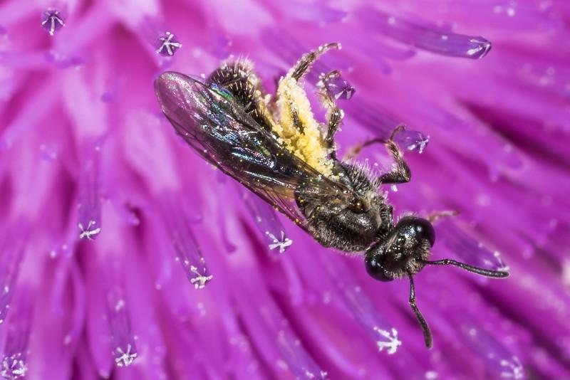 Lasioglossum maunga, a sweat bee (Family Halictidae), on scotch thistle (Cirsium vulgare). Puponga Hilltop Walk, Farewell Spit.