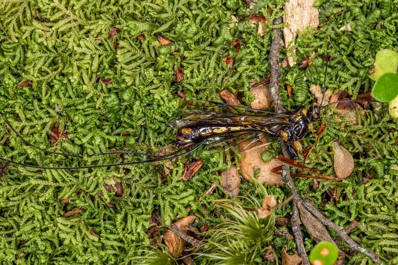 Ichneumonid wasp (Certonotus fractinervis), dead. Piano Flat, Waikaia Forest.