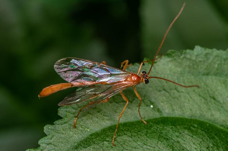 Ichneumon wasp (Enicospilus purgatus<br /> ). Wild River State Park, MN, USA.