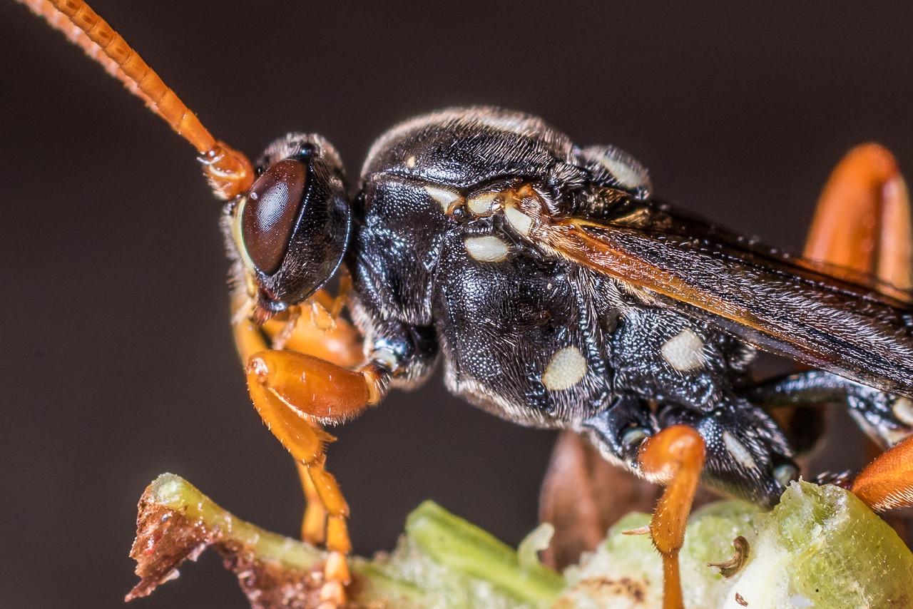 Ichneumon wasp (Eutanyacra licitatoria, male). Deep Stream, Otago