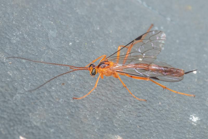 Ichneumonid wasp (Netelia ephippiata). Stratford Holiday Park, Taranaki.