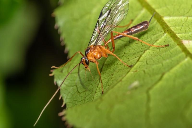 Ichneumonid wasp (Netelia ephippiata). Sledge Track, Palmerston North.