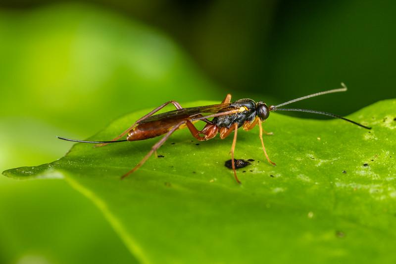 Ichneumonid wasp (Family Ichneumonidae). Sledge Track, Palmerston North.