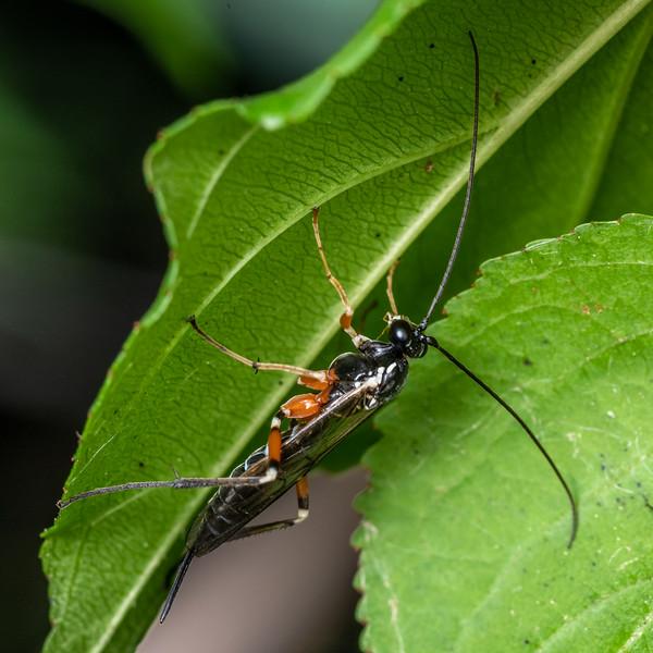 Ichneumon wasp (Tribe Ephialtini). Wild River State Park, MN, USA.