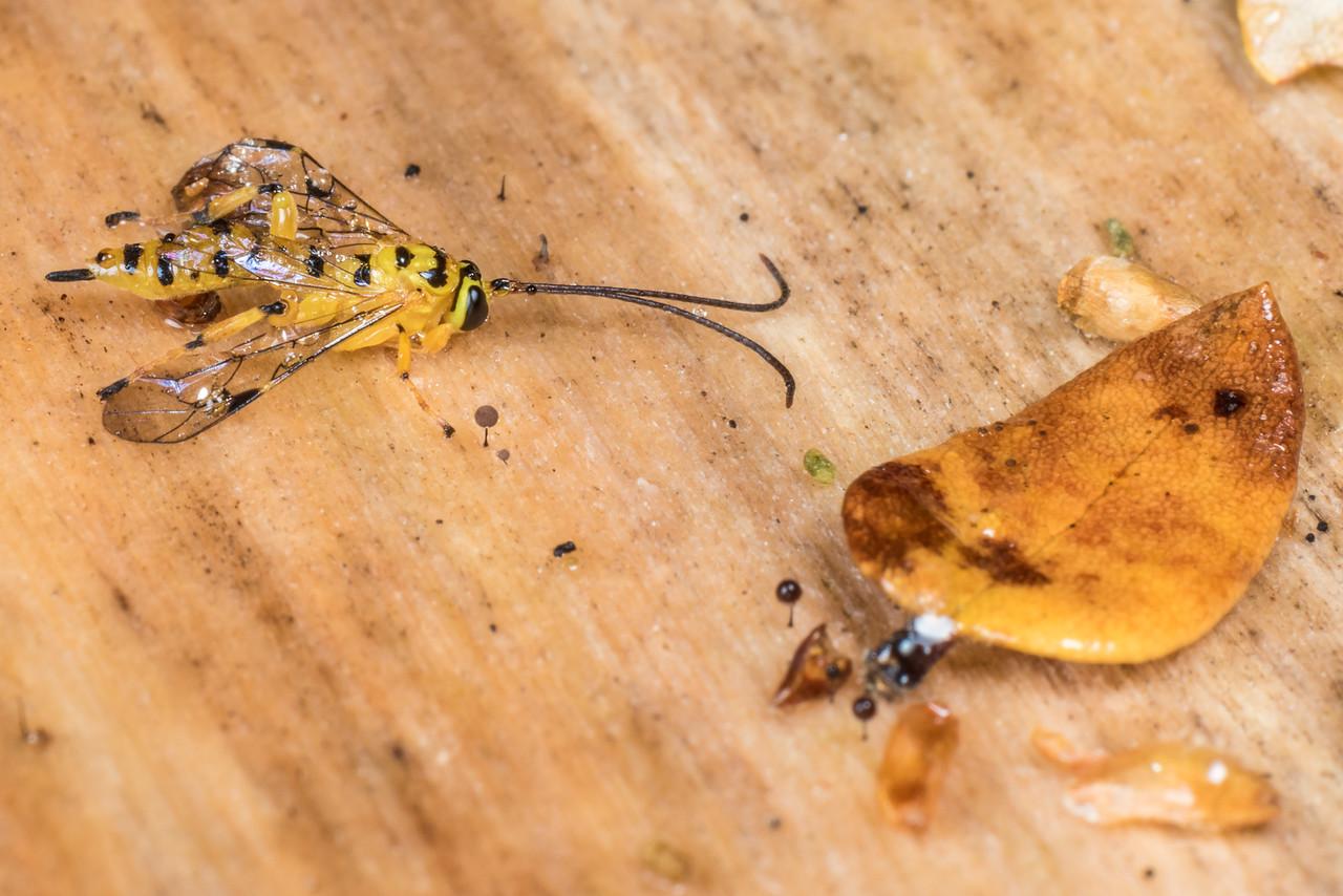 Yellowbanded leafroller parasite (Xanthopimpla rhopaloceros). Flora Hut, Kahurangi National Park.
