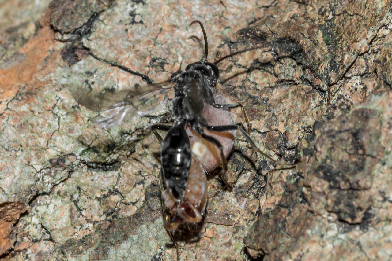 Spider wasp (Pompilidae) carrying a spider, with the legs cut off and discarded. The spider is upside down, being carried backward. St Croix Falls, WI, USA