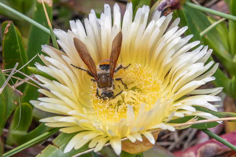 Yellow flower wasp (Radumeris tasmaniensis) female on ice plant (Carpobrotus edulis). Marokopa Beach, Waikato.