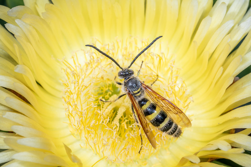 Yellow flower wasp (Radumeris tasmaniensis) male on ice plant (Carpobrotus edulis). Marokopa Beach, Waikato.