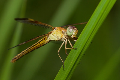 Female Painted Grasshawk (Neurothemis stigmatizans)