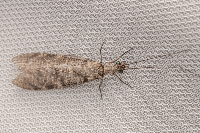 New Zealand dobsonfly (Archichauliodes diversus). Hinewai Reserve, Banks Peninsula.
