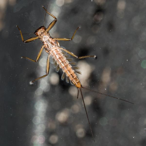Suckergilled mayfly larva (Deleatidium spp.). Flora Stream near Flora Hut, Kahurangi National Park.