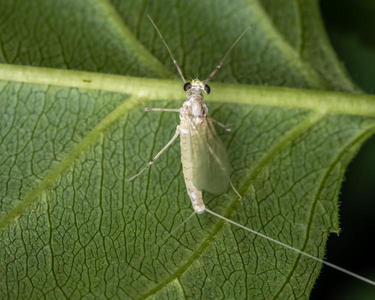 Mayfly (Maccaffertium spp.). Wild River State Park, MN, USA.
