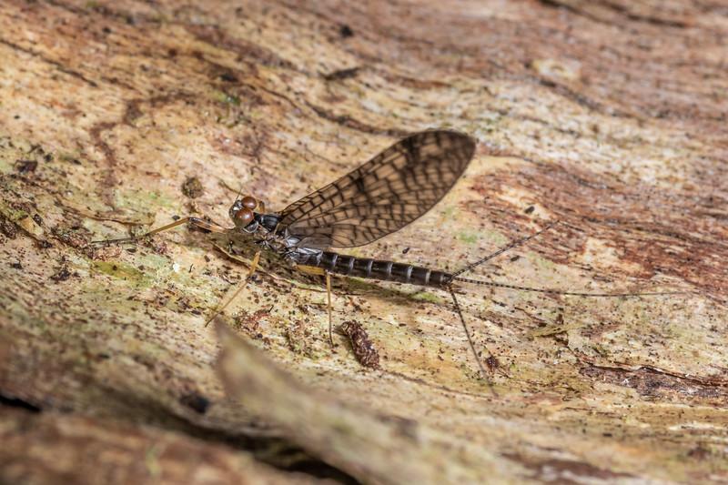 Prong-gilled mayfly (Neozephlebia scita). Nikau Creek, Wainuiomata, Wellington.
