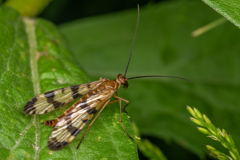 Scorpionfly (Panorpa insolens). Wild River State Park, MN, USA.