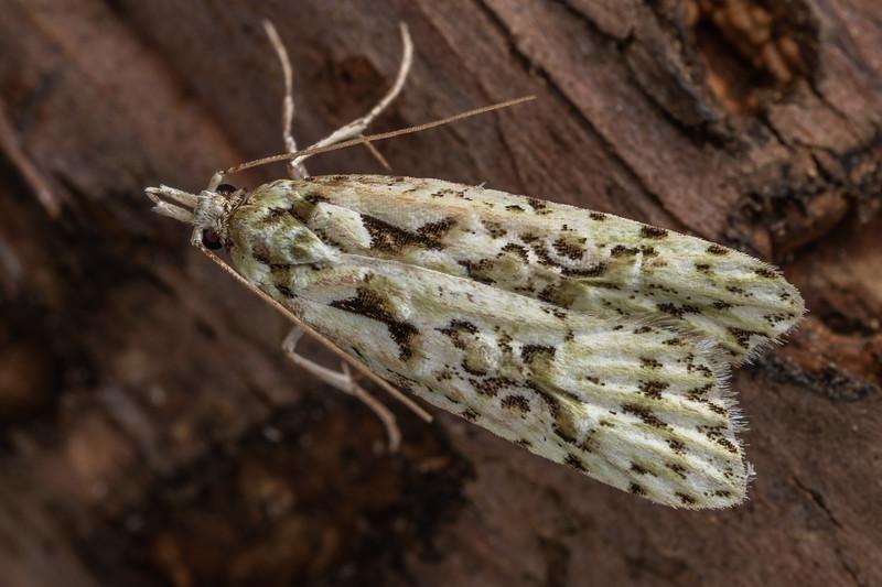Fruitworm moth (Heterocrossa eriphylla). Puketotara Hut, Matemateaonga Range.