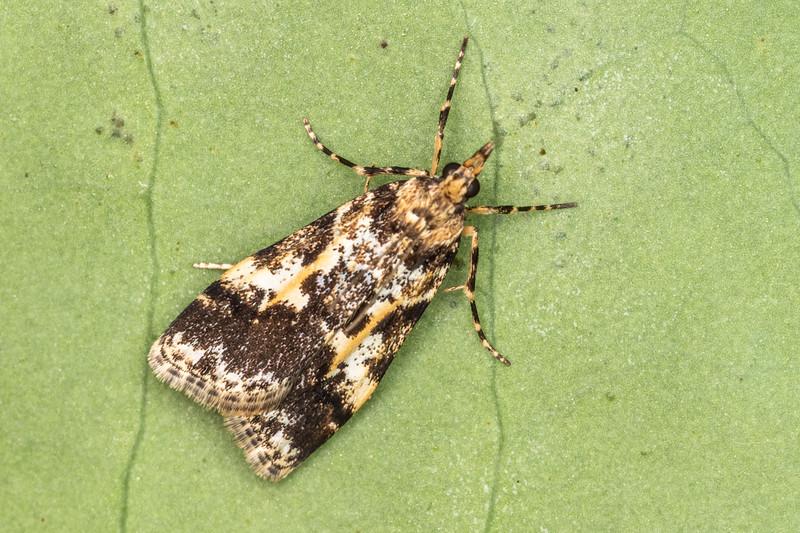 Crambid snout moth (Eudonia characta). Mangahopue Arch Track, Waitomo.