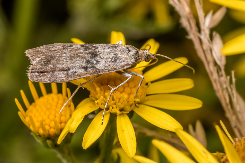 Crambid moth (Eudonia gyrotoma) on ragwort (Jacobaea vulgaris). Junction Flat, Matukituki River East Branch, Mount Aspiring National Park.