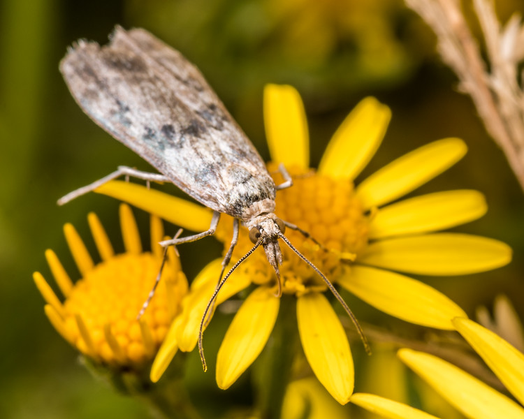 Crambid moth (Eudonia gyrotoma) on ragwort (Jacobaea vulgaris). Junction Flat, Matukituki River East Branch, Mount Aspiring National Park.