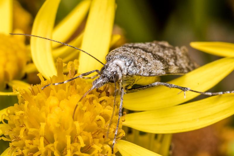 Crambid moth (Eudonia manganeutis<br /> ) on ragwort (Jacobaea vulgaris). Junction Flat, Matukituki River East Branch, Mount Aspiring National Park.