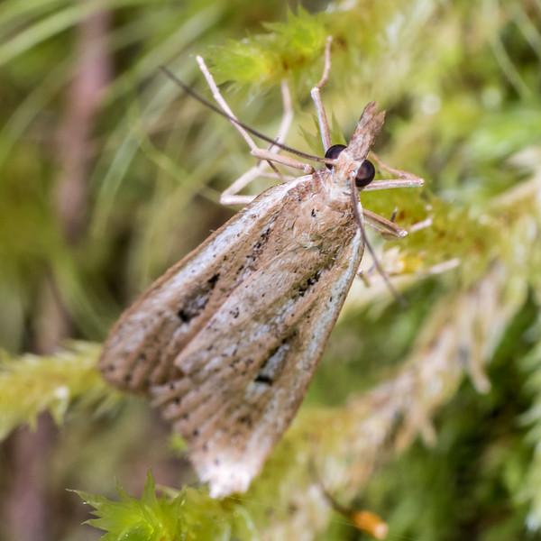 Sod webworm (Eudonia sabulosella). Flora Hut, Kahurangi National Park.