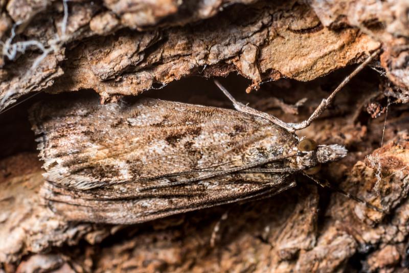 Sod webworm (Eudonia submarginalis). Deep Stream, Otago.