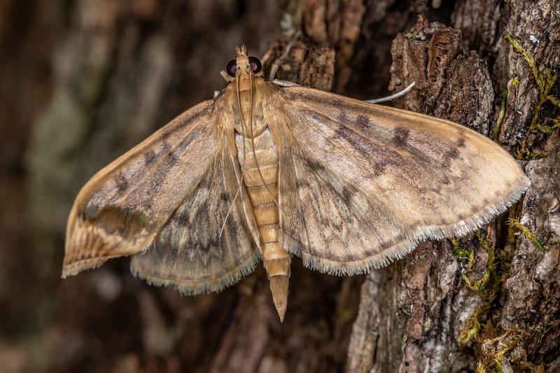 Bold-feathered grass moth (Herpetogramma pertextalis). Wild River State Park, MN, USA.