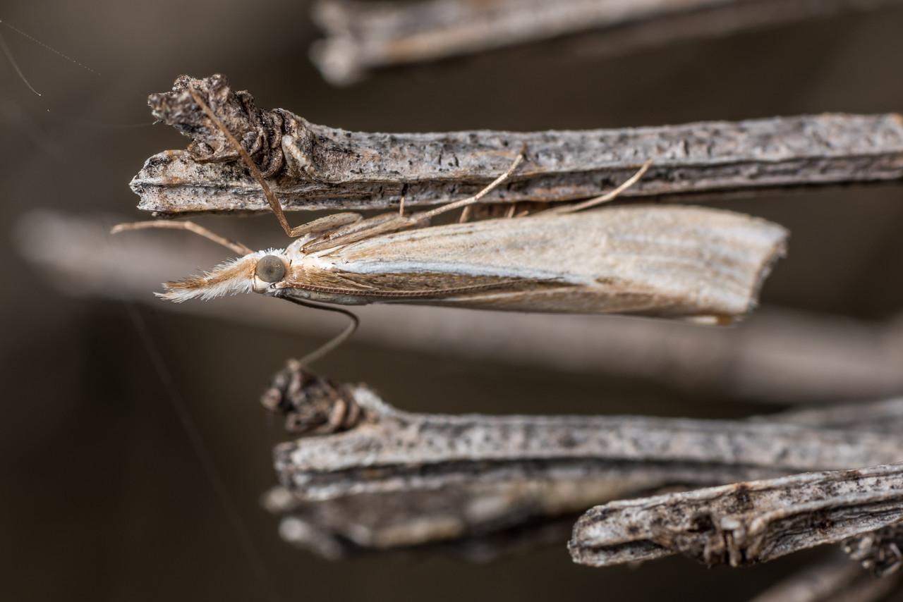 Grass moth (Orocrambus spp.). Deep Stream, Otago.