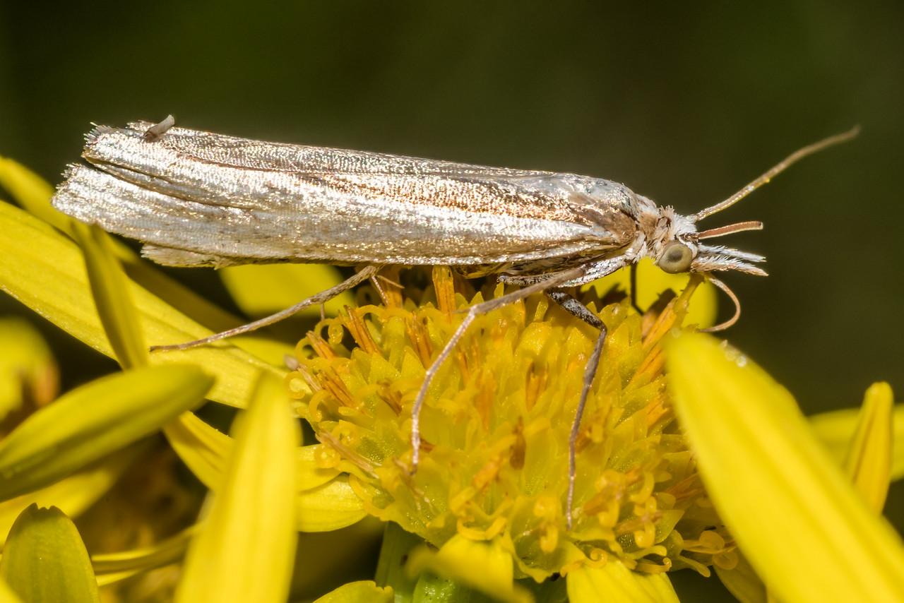 Common grass moth (Orocrambus flexuosellus) on ragwort (Jacobaea vulgaris). Raspberry Flat, Matukituki River West Branch.