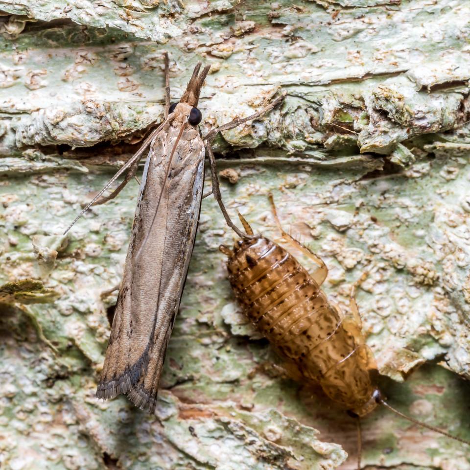 Crambid snouth moth (Family Crambidae) and cockroach (Parellipsidion pachycercum) juvenile. Thisbe Hut, Catlins Forest. Thisbe Hut, Catlins Forest.