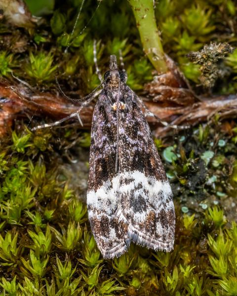 Crambid moth (Scoparia minusculalis). Kiwi Burn mouth, Fiordland National Park.