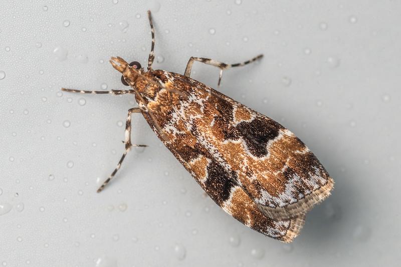 Crambid moth (Scoparia ustimacula). Te Whare Okioki, Kaimai Range, Waikato.